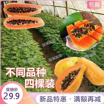 黄金木瓜苗 黄金木瓜红肉水果木瓜大青大白木瓜树苗带土带叶当年结果产量高