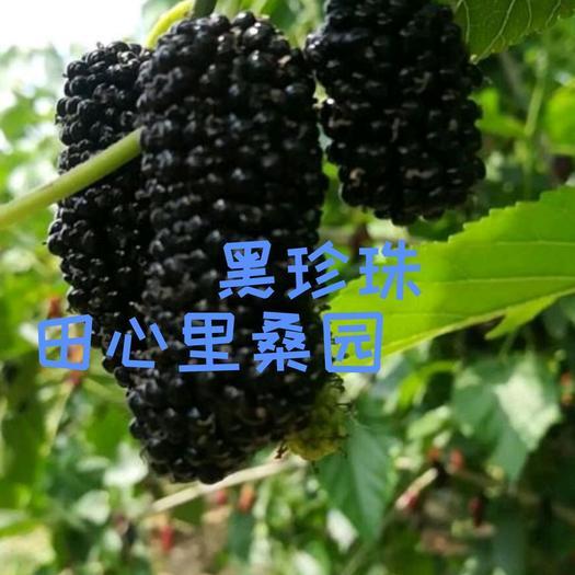 黑珍珠桑树苗 黑珍珠果桑苗