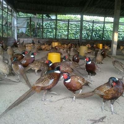 常年出售七彩野山鸡,脱温苗