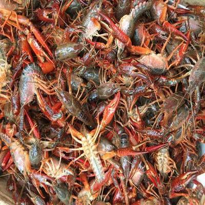 湖北小龙虾青红虾4.3--6.7满肉规格硬底板干净产地直发