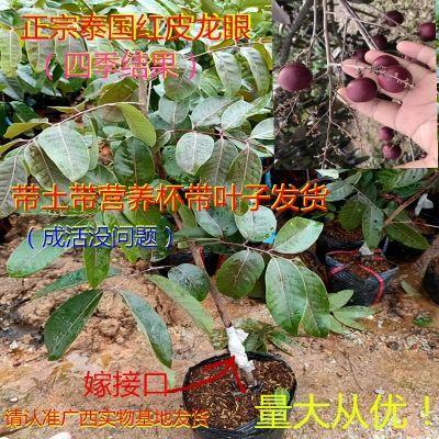 红皮龙眼苗 红皮龙眼树苗正宗泰国红皮龙眼树苗嫁接苗南北方种植当年开花结果