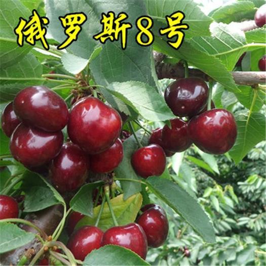俄罗斯8号大樱桃苗,矮化砧木,全国发货,保证品种,包成活
