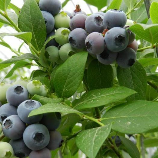 南高丛蓝莓苗 2-4年苗,全国发货,保证品种,包成活,死苗免费补发