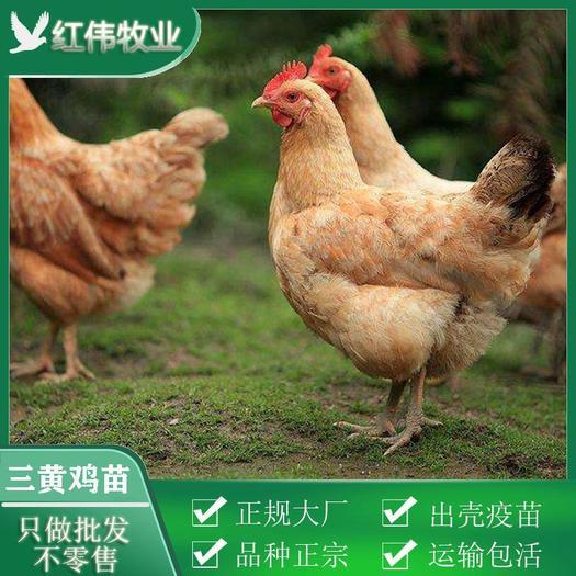 三黄鸡苗 品种正宗、包打疫苗、死亡包赔