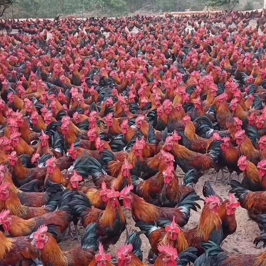 禽畜用饲料 土鸡长得快就用白金肽,催肥增重促生长抗病防病治拉稀