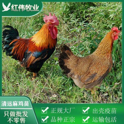 清远鸡 清远2号麻鸡苗 清远1号麻鸡苗 包打疫苗