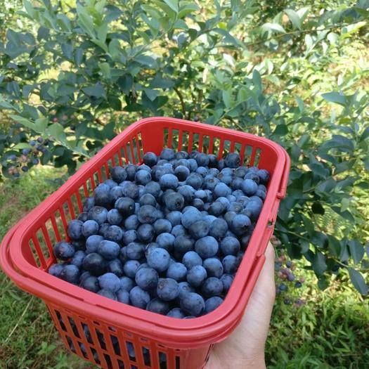 贵州麻江蓝莓、  大量出货批发  、产地直销、质量保证。
