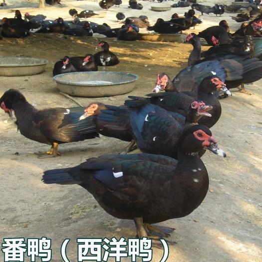 番鸭苗(非洲雁)(西洋鸭)火鸭鸳鸯鸭旱鸭白番鸭半番鸭