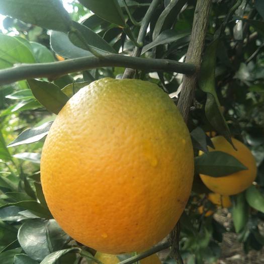 纽荷尔脐橙枝条 纽荷尔枝条保品种纯度提供嫁接技术量大提供嫁师傅