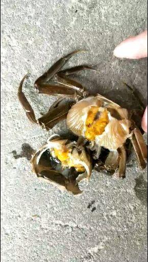 固城湖大闸蟹 买8送8   16只大蟹六月黄公母蟹