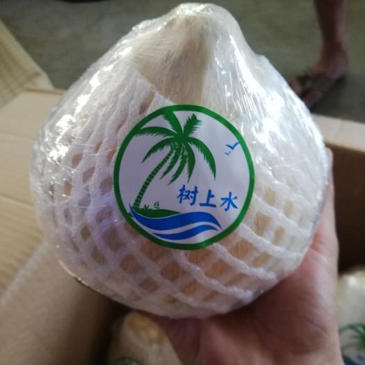椰皇 1.5到2.0斤,海南,天然树上水,椰白