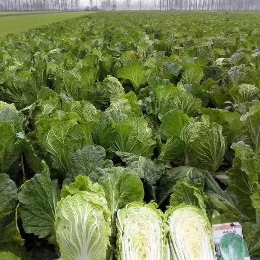 高抗病,特丰产,神青冬福,白菜种子20克