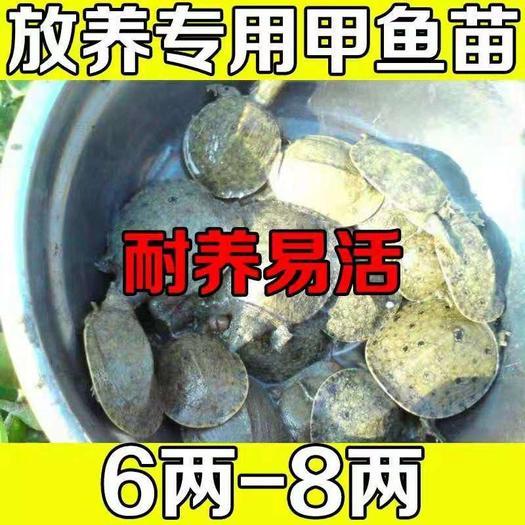 生态甲鱼苗 养殖专用6-8两10.5元一只顺丰包活