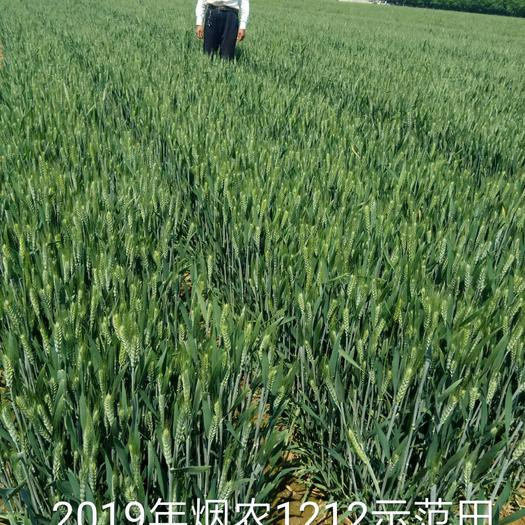 小麦种子 高产好吃的小麦品种(烟农1212)