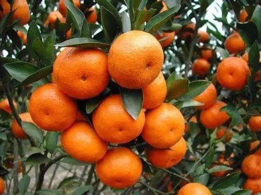 沙糖桔苗 砂糖橘苗  果味美 极甜 无渣 口感细腻  品种纯  保湿发