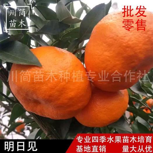 明日见柑橘苗 明日见苗 杯苗地苗 品种保证 检疫证件齐全