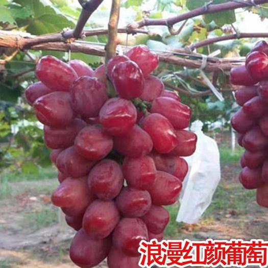浪漫红颜葡萄苗 1~2年嫁接苗,全国发货,保证品种,包成活,死苗免费补发
