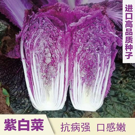 紫白菜种子火凤凰种子红白菜种子 富含青花素白菜种子营养