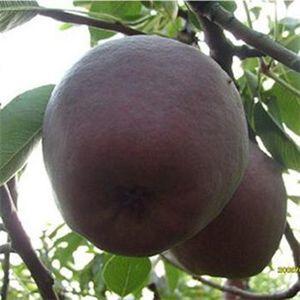 意大利黑梨苗,个大脆甜,包邮,易成活