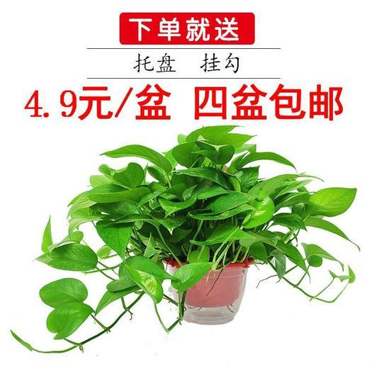 绿萝180盆栽  四盆包邮长藤大叶 基地直销净化空气除甲醛