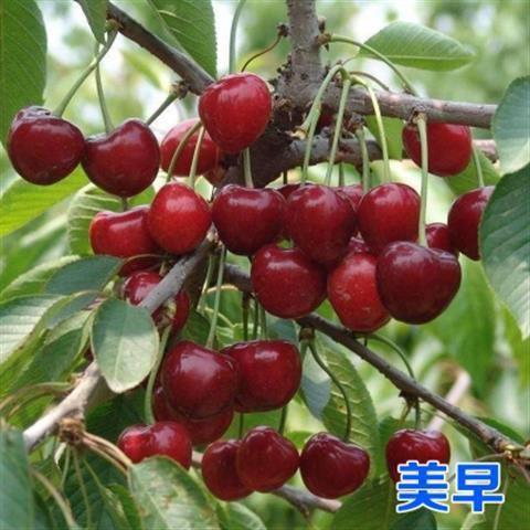美早苗 美早樱桃树苗,一年苗,全国发货,保证品种包成活