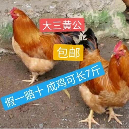 三黄鸡苗 土1.5 土2  诚信孵化场供应_-假一赔十