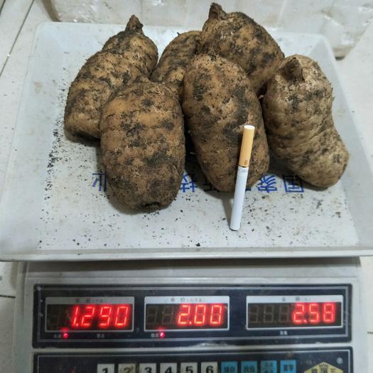 新鲜天麻,带泥发货,1斤5个左右,可以批发可零售