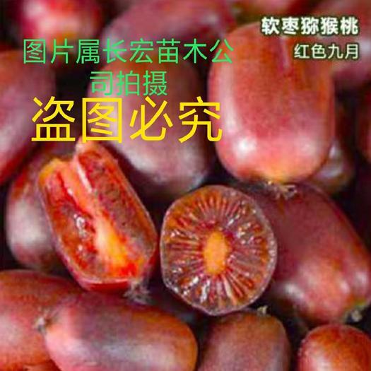 软枣猕猴桃苗 免费送公树,当年挂果,包成活包挂果,不结果包赔!