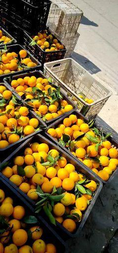 蜜桔 特早蜜橘热销 欢迎全国各地客户