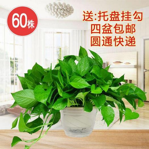 绿萝 A180盆栽60株 四盆包邮 长藤大叶除甲醛 基地直销