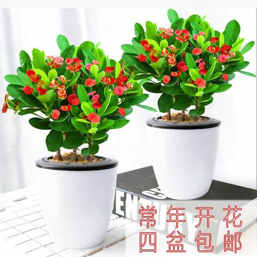 铁海棠盆栽 盆径90110#常年开花四季不断 去甲醛 包邮
