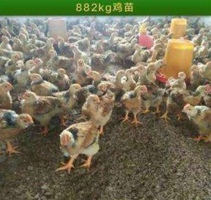 K9鸡苗,快大黄鸡良凤鸡