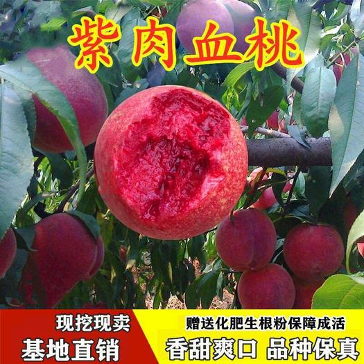 血桃树苗当年可挂果嫁接苗保证品种