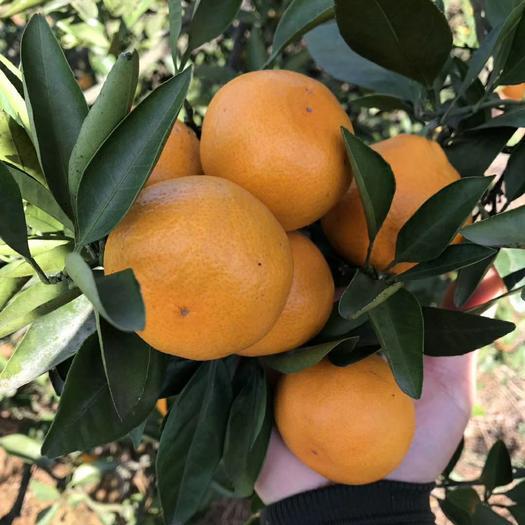 特早蜜桔 蜜橘 自家承包果园,实地看货采摘,提供打蜡等一条龙服务