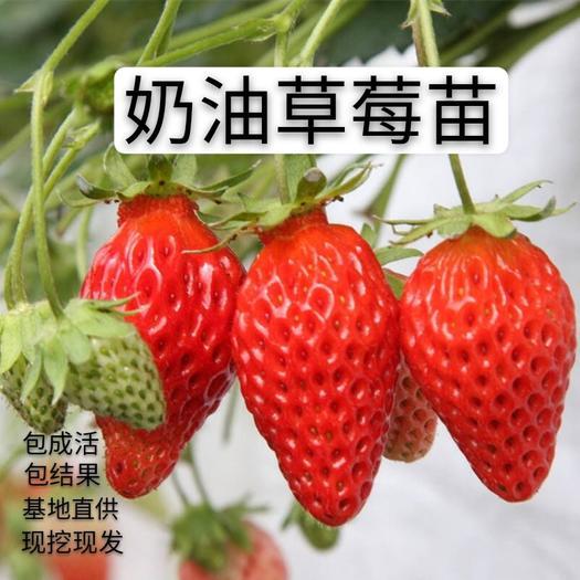 奶油草莓苗 自家基地培养 南北方盆栽地栽 包成活  包结果