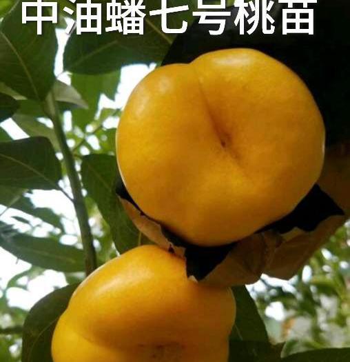 中油蟠七号桃树苗 当年结果苗 包品种 包成活