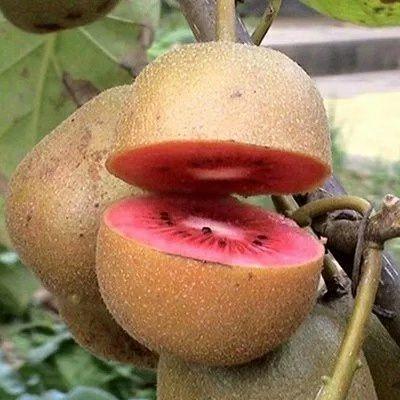 红心猕猴桃苗 保品种  包成活  基地现挖直销 免费后期种植技术指导