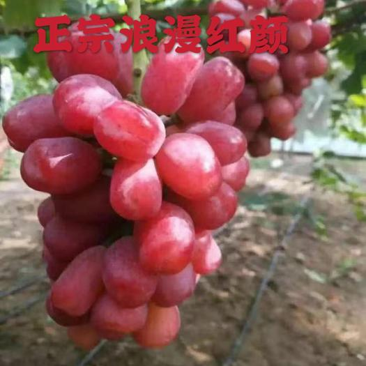 浪漫红颜葡萄苗全国发货包品种包成活