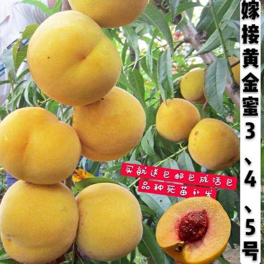 黄金蜜桃树苗 自育嫁接黄金蜜桃苗3、4、5号买就送,包品种包邮死苗补发