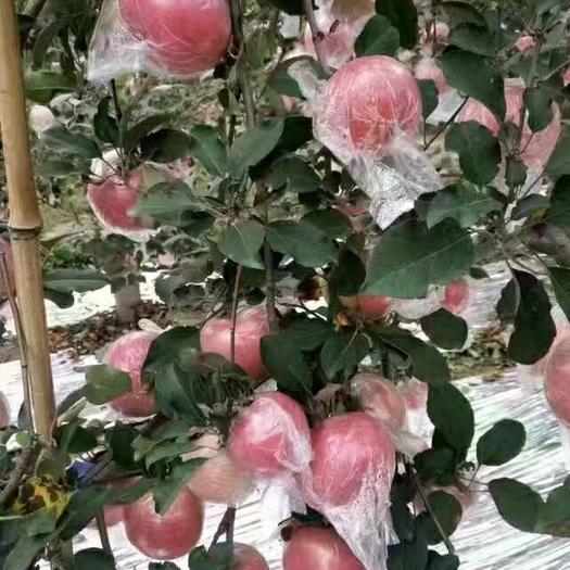 黄土高坡红富士苹果,纸袋,膜袋,