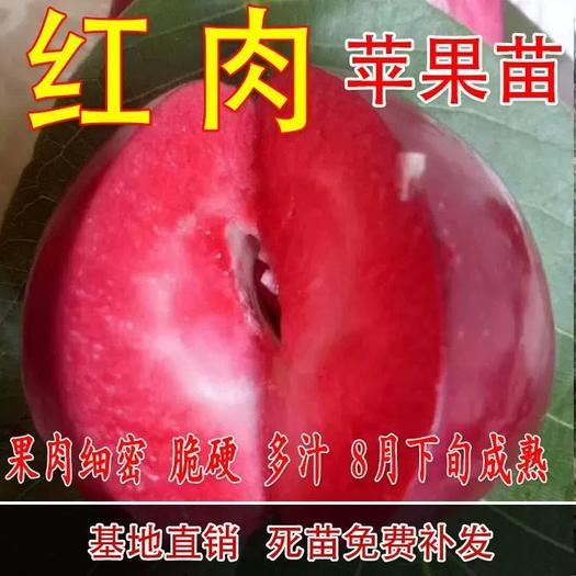 红肉苹果树苗 红肉苹果苗 口感细腻 甜度高 南北方均可种植