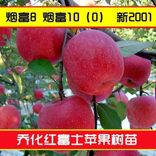 红富士苹果苗 果实大 产量高 基地直销 包品种