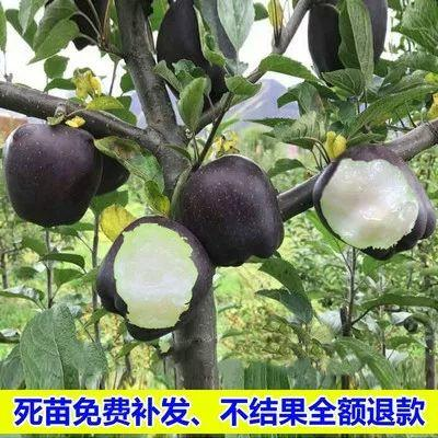 黑钻苹果树苗 黑钻苹果苗 嫁接苗 当年可挂果 南北方均可种植抗寒