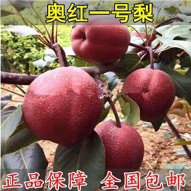 奥红一号梨树苗 品种纯正 基地现挖直销 包品种 包成活