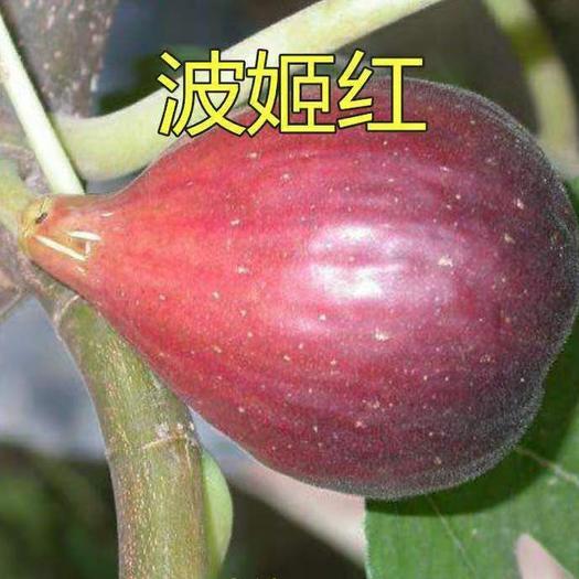 波姬红无花果苗 品种齐全包成活包品种