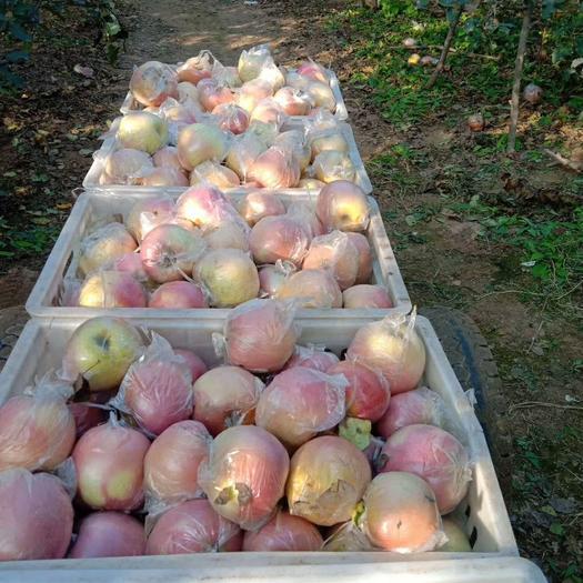 红富士苹果 《卖家推荐》产地直销,精品果,无坏果残果,水分够足,个够大