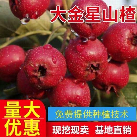 大金星山楂树苗 自花授粉 品质优,高产 嫁接苗