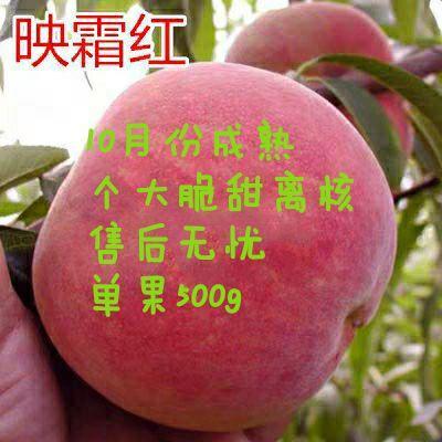 映霜红桃苗 明年结果苗,晚熟品种,脆甜可口,现挖现卖,基地直销