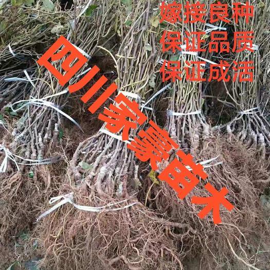 正宗苍溪红阳猕猴桃苗 现挖现发 保证品质和成活率 嫁接苗