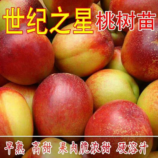 油桃新品种世纪之星油桃树苗 特大果油桃苗单果390克极早熟